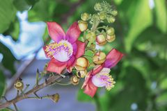 Um tiro macro bonito de uma flor do guianensis incomum de Couroupita da árvore da bala de canhão Fotos de Stock