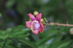 Um tiro macro bonito de uma flor do guianensis incomum de Couroupita da árvore da bala de canhão Imagem de Stock Royalty Free