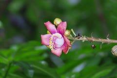Um tiro macro bonito de uma flor do guianensis incomum de Couroupita da árvore da bala de canhão Fotos de Stock Royalty Free