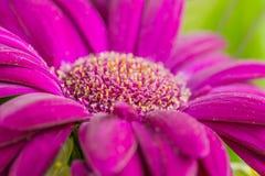 Um tiro macro da flor roxa Imagens de Stock Royalty Free