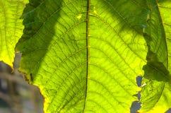 Um tiro macro da folha verde imagens de stock