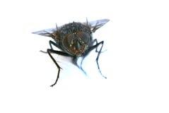 Um tiro macro da mosca em um fundo branco Foto de Stock