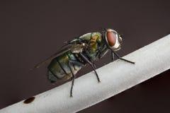 Um tiro macro de uma mosca da casa foto de stock royalty free