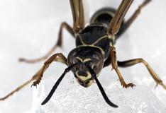 Macro da vespa Fotografia de Stock Royalty Free