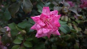 Um tom três cor-de-rosa aumentou foto de stock