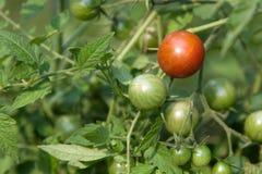 Um tomate maduro Fotos de Stock