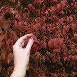 Um toque ao vermelho deixa o arbusto Imagem de Stock
