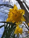Um toque de narcisos amarelos da primavera - acima do fim Fotografia de Stock