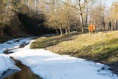 Um touro comprime a grama no prado do inverno, no rio geado e na neve no primeiro plano imagens de stock
