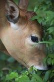 Um touro está comendo a grama Foto de Stock Royalty Free