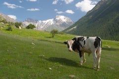 Um touro no prado Fotos de Stock Royalty Free