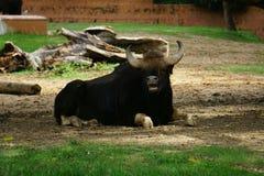 Um touro preguiçoso foto de stock royalty free