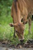 Um touro que come a grama Fotos de Stock