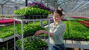 Um trabalhador do agrônomo ou da estufa da jovem mulher em uma camisa de manta leva um carro com as plantas verdes nas páletes pa filme