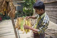 Um trabalhador do cigarro tinha semeado a folha do cigarro em Dhaka, manikganj, Bangladesh Imagem de Stock
