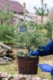 Um trabalhador do jardim guarda uma árvore spruce azul nova com raizes e terra Imagem de Stock