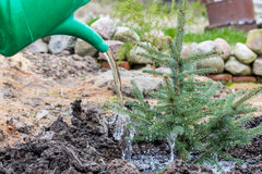 Um trabalhador do jardim molha uma árvore spruce azul nova Fotografia de Stock Royalty Free