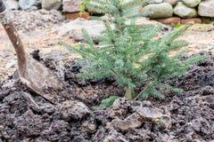 Um trabalhador do jardim planta uma árvore spruce azul nova com a ajuda da pá Fotografia de Stock Royalty Free