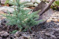 Um trabalhador do jardim planta uma árvore spruce azul nova com a ajuda da pá Fotos de Stock Royalty Free
