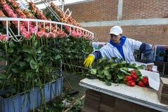 Um trabalhador no La Compania Rose Plantation em Equador embala rosas na fábrica de processamento Fotos de Stock