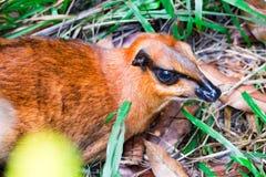 Um Tragulidae pequeno dos cervos de rato ao descansar no solo com grama fotos de stock