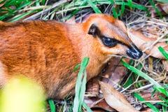 Um Tragulidae pequeno dos cervos de rato ao descansar no solo com grama fotografia de stock royalty free