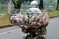 Um transporte do porco em Camboja Imagens de Stock