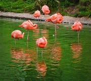 Um triângulo dos flamingos Foto de Stock