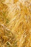 Um trigo amarelo imagem de stock