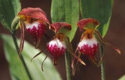Um trio de orquídeas raras, o ` da cabeça do ` s do Ram do ` Fotos de Stock