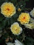 Um trio de rosas amarelas fotografia de stock
