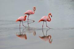 Um trio dos flamingos imagem de stock