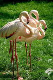 Um trio dos flamingos fotos de stock