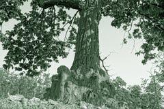 Um tronco e folhas de árvore em preto e branco Imagem de Stock