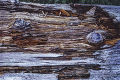 Um tronco na floresta, um resto de uma árvore velha Textura de madeira bonita com contrastes e cores fortes fotos de stock royalty free