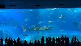 Um tubarão de baleia gigante no aquário de Churaumi, OKINAWA imagens de stock royalty free
