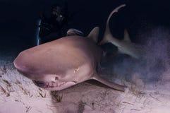 Um tubarão de limão em uma parte inferior arenosa Fotografia de Stock