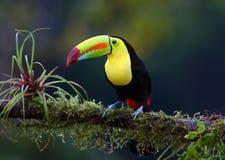 Um tucano Quilha-faturado empoleirou-se no ramo em Costa Rica imagens de stock royalty free