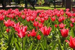 Um tulip amarelo no campo vermelho Fotos de Stock