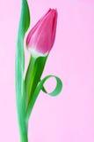 Um tulip cor-de-rosa fotografia de stock royalty free
