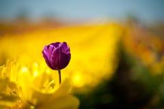 Um tulip roxo entre a fileira Imagem de Stock Royalty Free