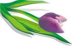 Um tulip violeta Imagens de Stock Royalty Free