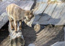 Um tur caucasiano do leste pequeno na rocha Animais Hoofed do mundo imagens de stock royalty free