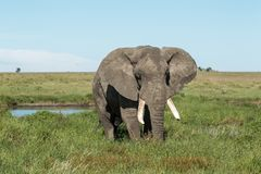 Um tusker africano do elefante de Bush que alimenta perto de um waterhole fotos de stock
