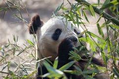 Um urso de panda está comendo o seu/seu café da manhã Fotografia de Stock Royalty Free