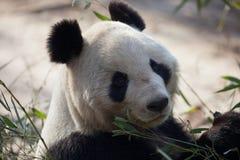 Um urso de panda está comendo o seu/seu café da manhã Foto de Stock