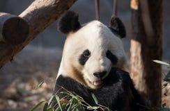 Um urso de panda está comendo o seu/seu café da manhã Imagem de Stock
