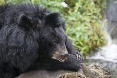 Um urso Formosan imagem de stock