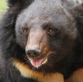 Urso grande do sol com boca aberta Fotos de Stock Royalty Free