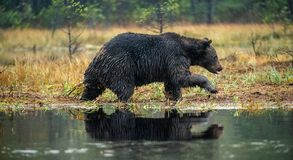 Um urso marrom no pântano Urso de Brown grande selvagem adulto Nome científico: Arctos do Ursus foto de stock royalty free